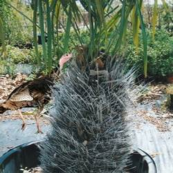 Buy Needle Palm Trees At Best Price Plants