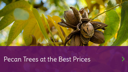 Walnut Trees for Sale at Best Price Plants Nursery
